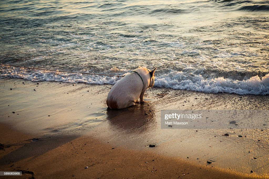 A pig watching the sun going down on a beach