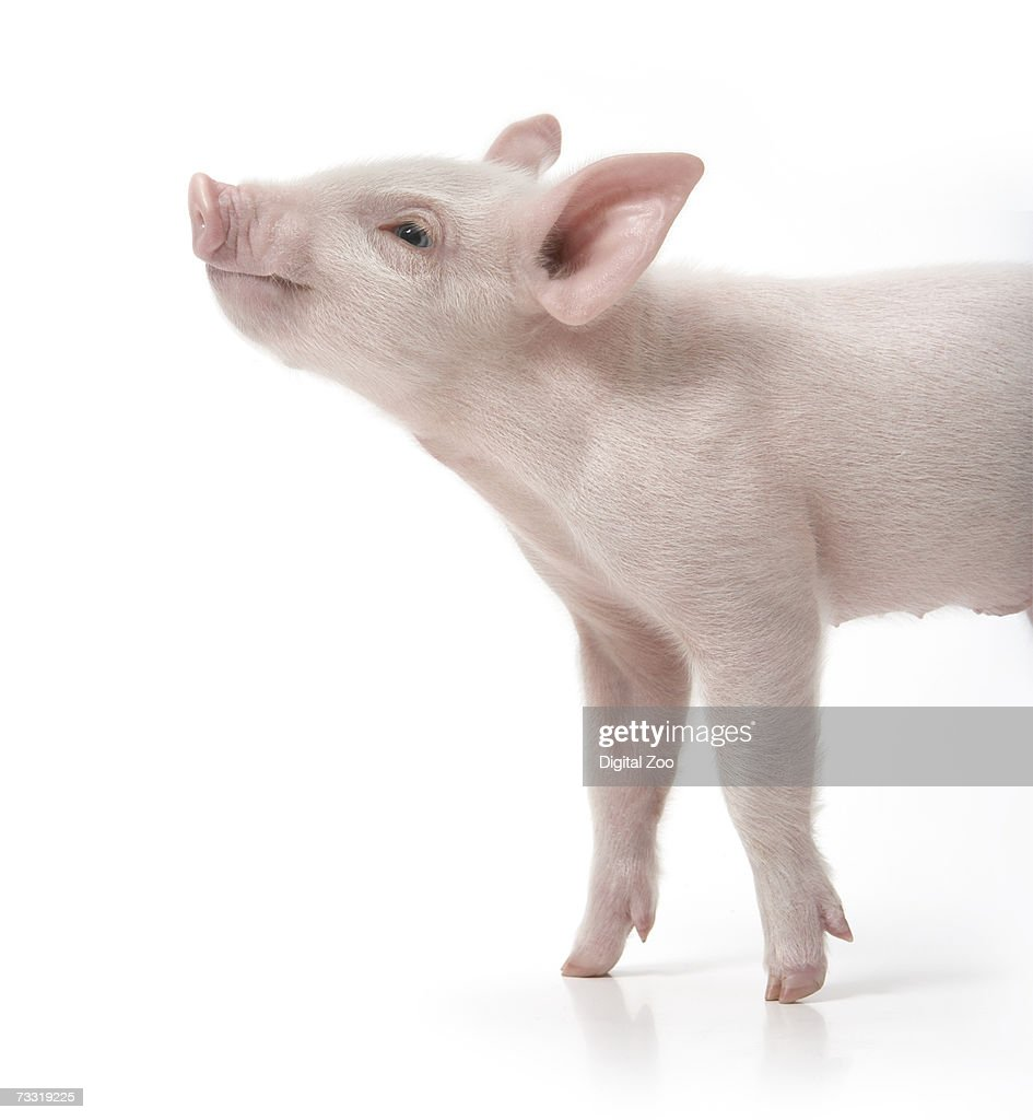Pig with nose in air, side view, white background : Stock Photo