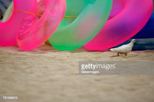 Pigeon and inflatable rings on the beach, Waikiki Beach, Honolulu, Oahu, Hawaii Islands, USA : Foto de stock