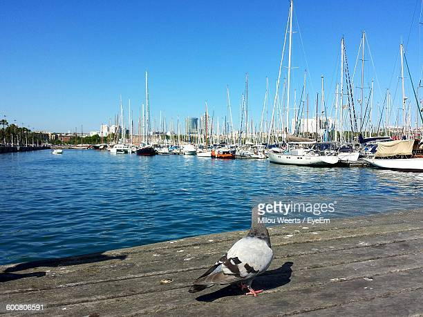 Pigeon By Boats At Sea Against Clear Sky