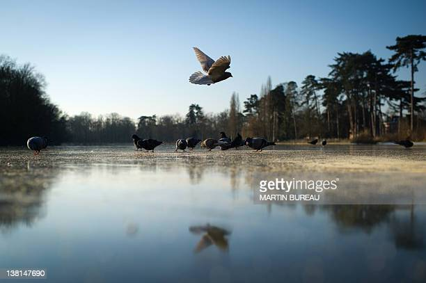 A pigeon flies over the frozen lake of the Bois de Vincennes on February 3 2012 south of Paris as France is facing low temperatures AFP PHOTO /...