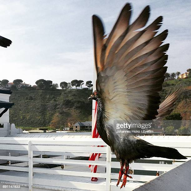 Pigeon Flying By White Railing Against Sky