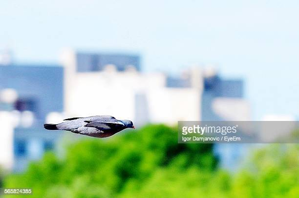 Pigeon Flying, City In Background