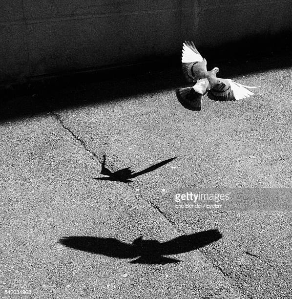 Pigeon Flying Over Asphalt