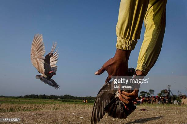 A pigeon handler calls in his bird with the help of female pigeons during a national pigeon racing competition on September 6 2015 in Yogyakarta...