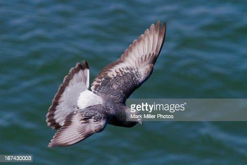 Pigeon in Flight : Foto de stock