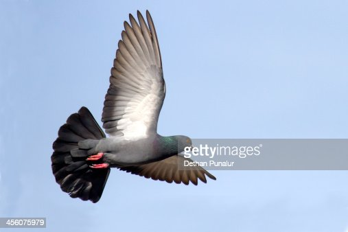 Pigeon in flying