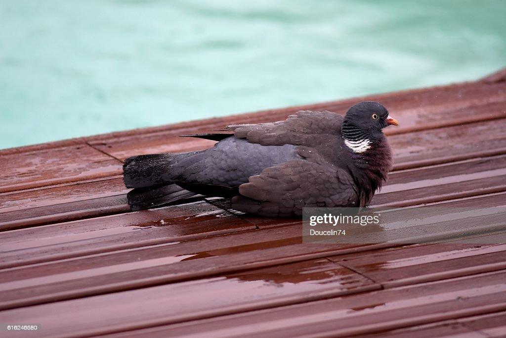 Pigeon en la lluvia  : Foto de stock