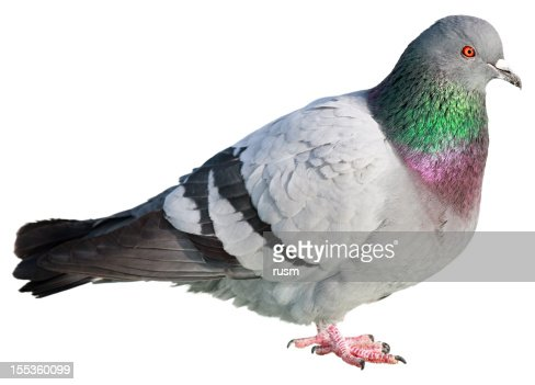 Isolated pigeon