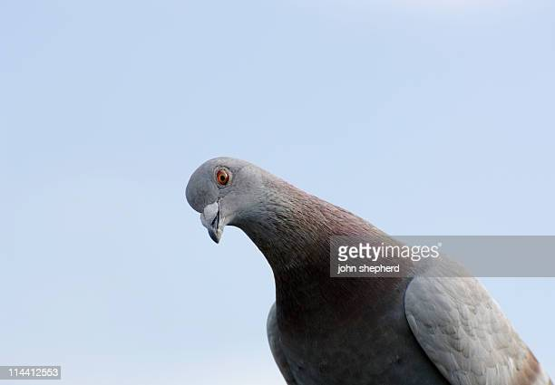 pigeon looking at camera