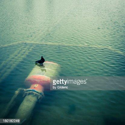 Pigeon of Atlantis : Stock Photo