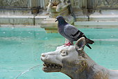 Pigeon perches on animal fountain in Siena, Tuscany, Italy