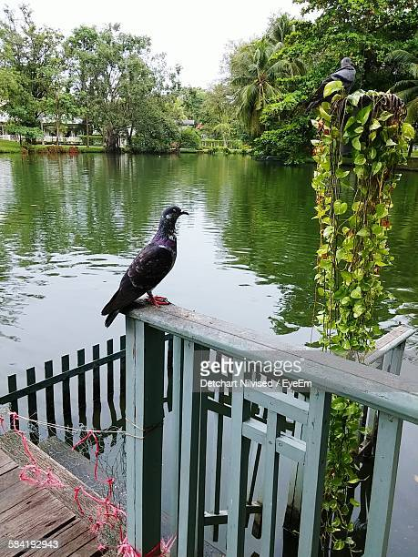 Pigeon Perching On Railing By Lake Against Clear Sky