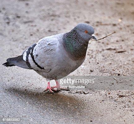 pigeon : Stock Photo
