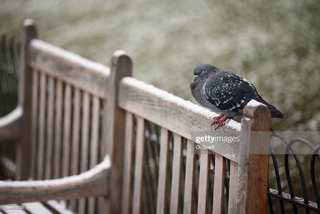 A pigeon rests on a snow-covered bench in St James's Park on January 14, 2013 in London, England. Several counties in England have received light snowfall overnight. Met Office forecasters are warning of a very cold week throughout the UK and heavier snow predicted to fall across much of the country.