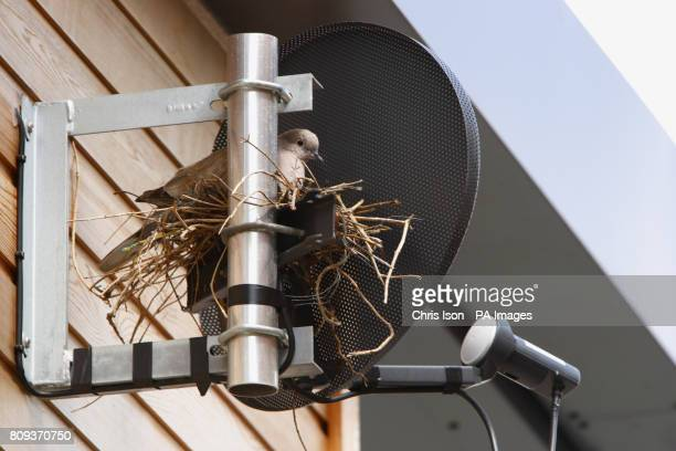 A pigeon sits in it's nest carefully balanced on a satellite television dish on the side of Lewes Police station in east Sussex