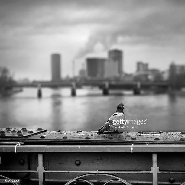 Pigeon sitting overlooking Frankfurt