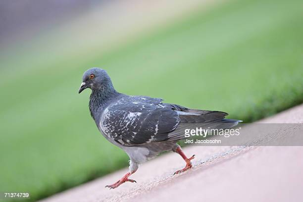 A pigeon walks in the infield during the game between the San Francisco Giants and the Colorado Rockies at ATT Park on May 26 2006 in San Francisco...
