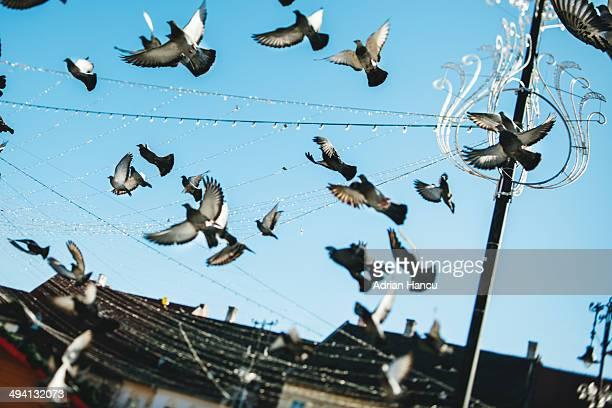 Pigeons above Christmas Decorations CNEUCEL480