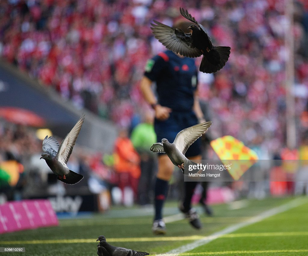 Pigeons enjoy the pitch during the Bundesliga match between FC Bayern Muenchen and Borussia Moenchengladbach at Allianz Arena on April 30, 2016 in Munich, Germany.
