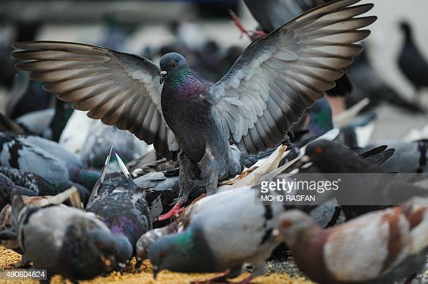Pigeons feed in front of a shop in Kuala Lumpur on September 30 2015 AFP PHOTO / MOHD RASFAN