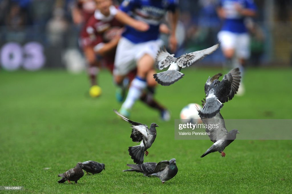 Pigeons fly during the Serie A match between UC Sampdoria and Torino FC at Stadio Luigi Ferraris on October 6, 2013 in Genoa, Italy.