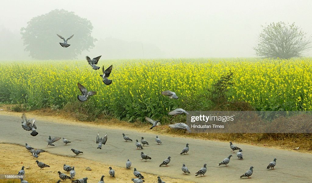 Pigeons fly in the back drop of Mustard fields as dense fog engulf the area around Dwarka as Mercury dips further below to 3 degree in Morning on January 4, 2013 in New Delhi, India. Dense fog has affected around 45 trains and 22 flights.