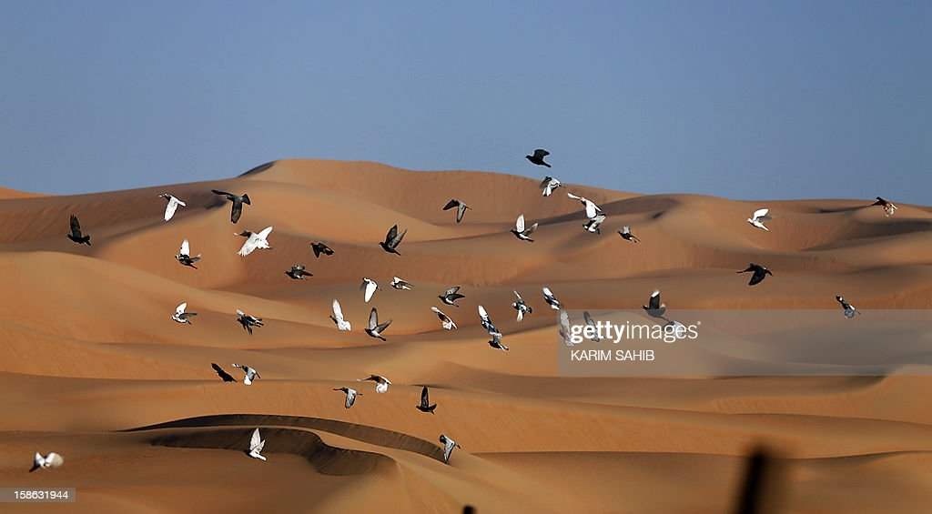 Pigeons fly over the Liwa desert, 220 kms west of Abu Dhabi, on the sidelines of the Mazayin Dhafra Camel Festival on December 22, 2012. The festival, which attracts participants from around the Gulf region, includes a camel beauty contest, a display of UAE handcrafts and other activities aimed at promoting the country's folklore. AFP PHOTO/KARIM SAHIB