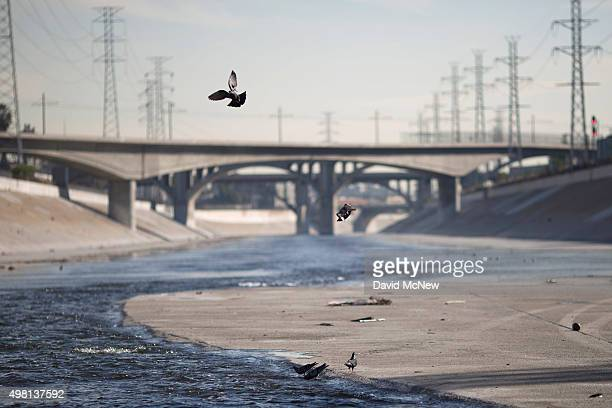 Pigeons fly over the Los Angeles River on November 20 2015 in Los Angeles California With the approach of devastating winter storm conditions due to...