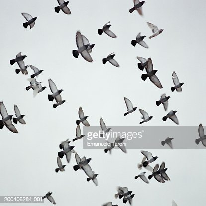 Pigeons in flight (blurred motion) : Stock Photo