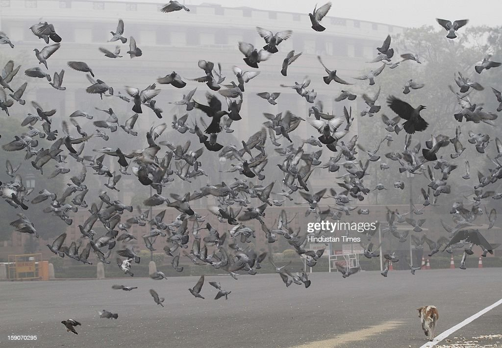 Pigeons in front of the Parliament house on January 7, 2013 in New Delhi, India. Dense fog and icy winds disrupted normal life as Delhi's minimum temperature settled at five notches below average at 2.4 degrees Celsius. Fog forced visibility to drop to about 500 metres in the morning resulting in 15 flights and 42 trains were delayed out of Delhi while 18 trains got cancelled.