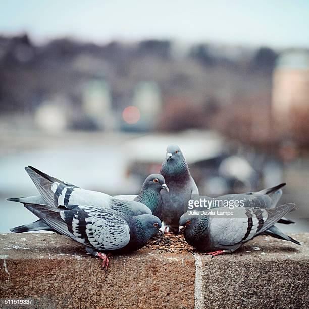 Pigeons in Prague