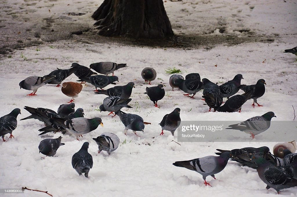 Pigeons in snow : Stock Photo