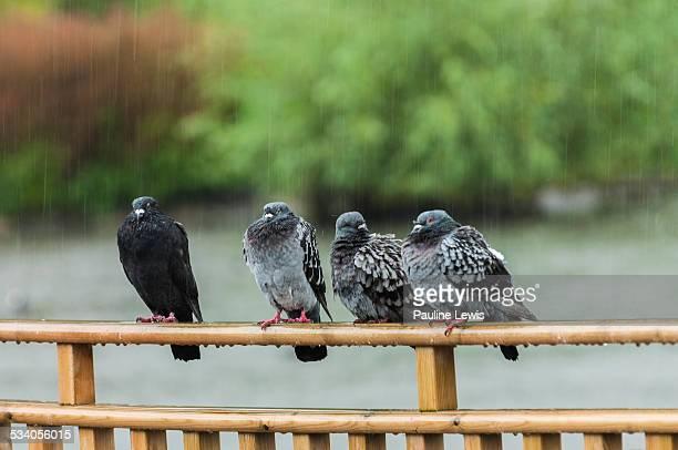Pigeons in the Rain