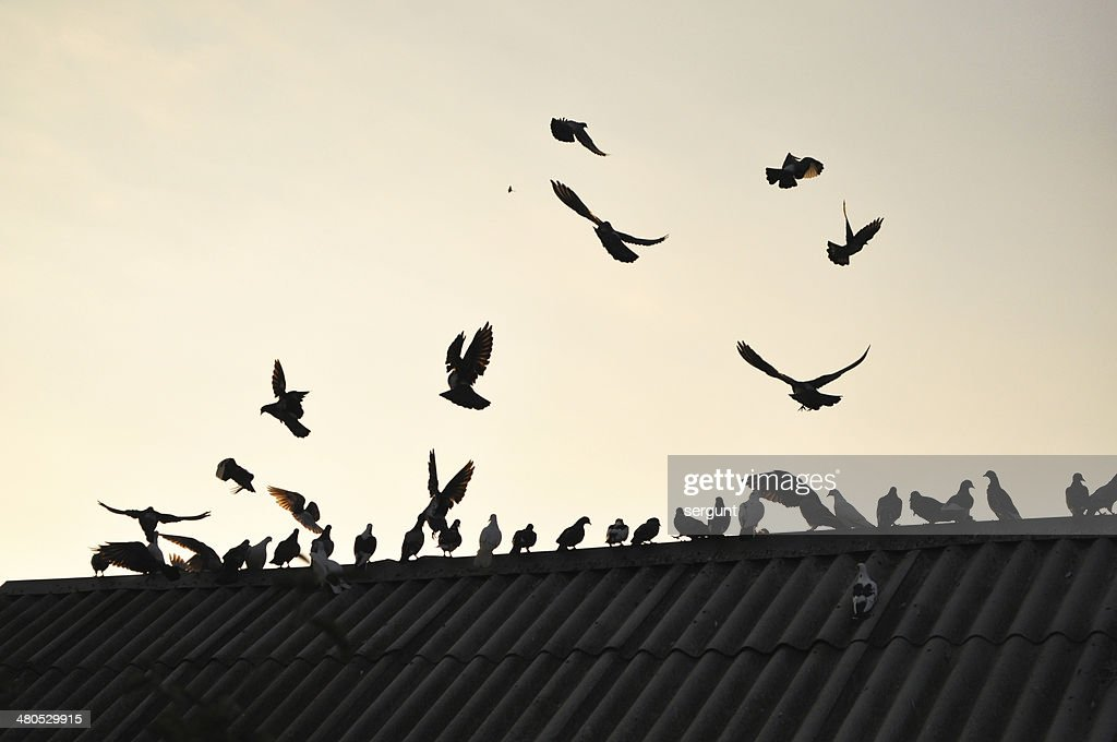 Pigeons in the sky. : Bildbanksbilder