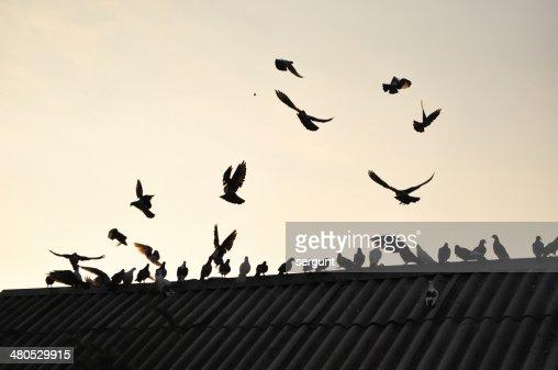 Pigeons in the sky. : Bildbanksbilder