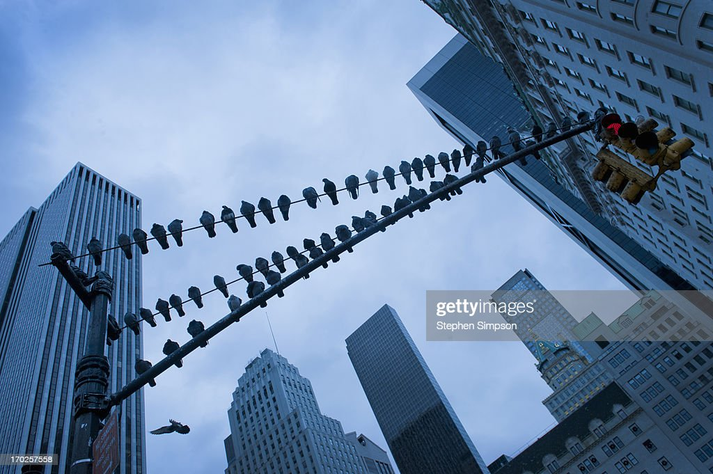 pigeons lined up on a traffic light pole : Stock Photo