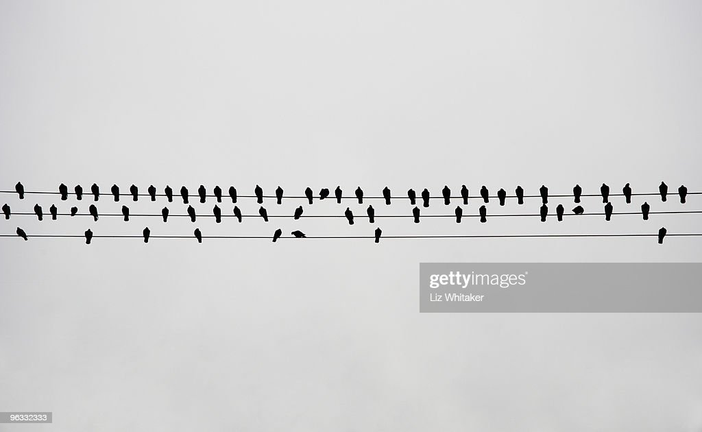 Pigeons perching on telephone lines : Foto de stock