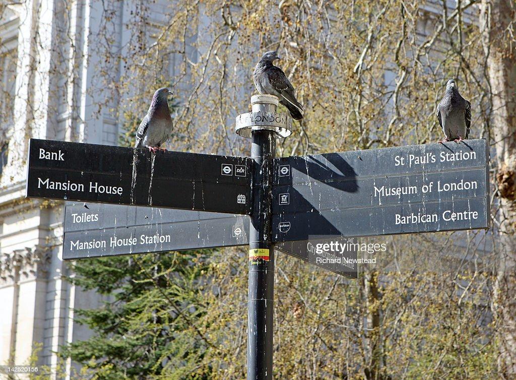 Pigeons : Stock Photo