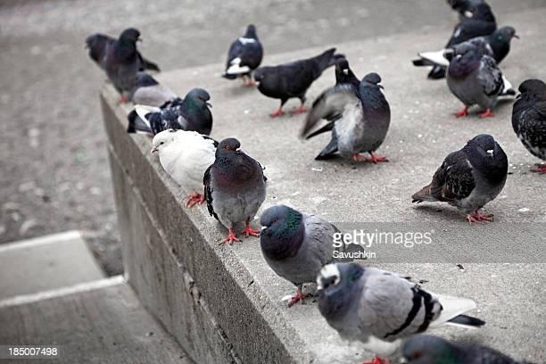 Ces Pigeons
