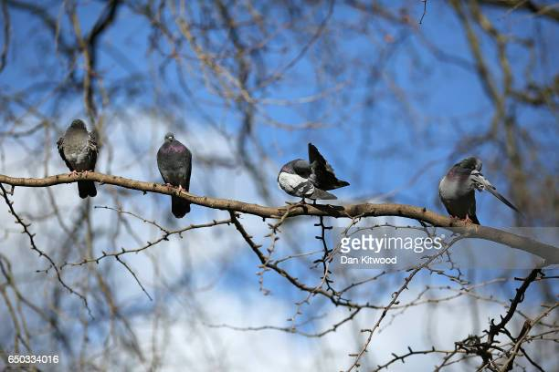 Pigeons preen their feathers while sitting on a branch in the sunshine in St James's Park on March 9 2017 in London England Seasonable weather has...