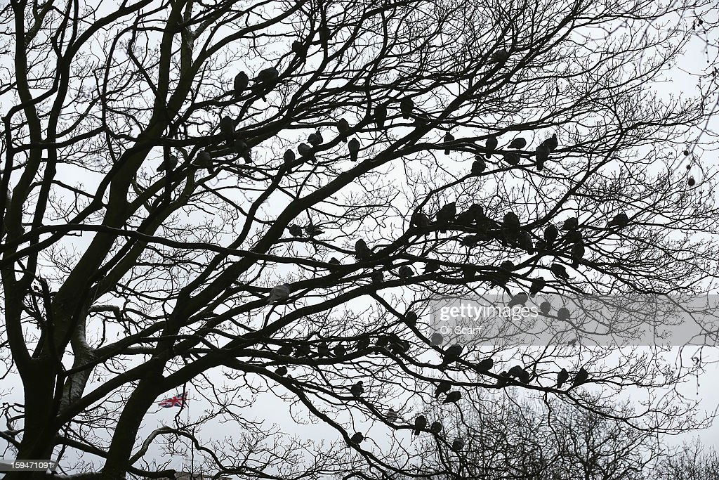 Pigeons roost in a tree in St James's Park in freezing temperatures on January 14, 2013 in London, England. Several counties in England have received light snowfall overnight. Met Office forecasters are warning of a very cold week throughout the UK and heavier snow predicted to fall across much of the country.