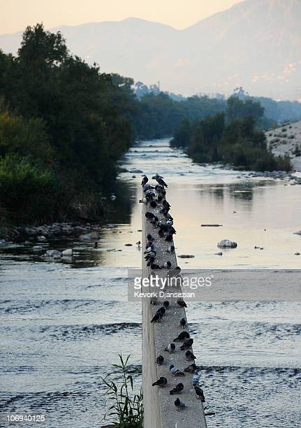 Pigeons sit on a concrete wall above the Los Angeles River on November 17 2010 in Los Angeles California Los Angeles County Board of Supervisors...
