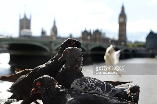 Pigeons sit on a wall by Westminster Bridge as Big Ben and the Houses of Parliament stand on the banks of the River Thames in central London on...
