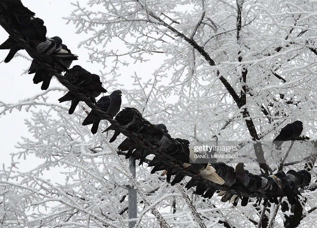 Pigeons sit on a wire next to frost covered trees in Bucharest, on February 5, 2014. Meteorologists forecast temperatures around the freezing point for the Romanian capital. AFP PHOTO DANIEL MIHAILESCU