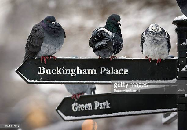 Pigeons try to keep out of the snow by resting on a signpost in St James's Park on January 21 2013 in London England The United Kingdom has suffered...