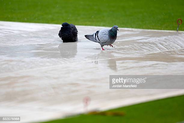 Pigeons walk in the standing water on the covers as rain delays the start of play on day four of the Specsavers County Championship Division One...