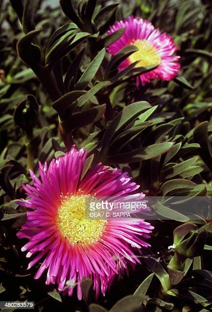 Pigface ice plant and Hottentot plant Aizoaceae