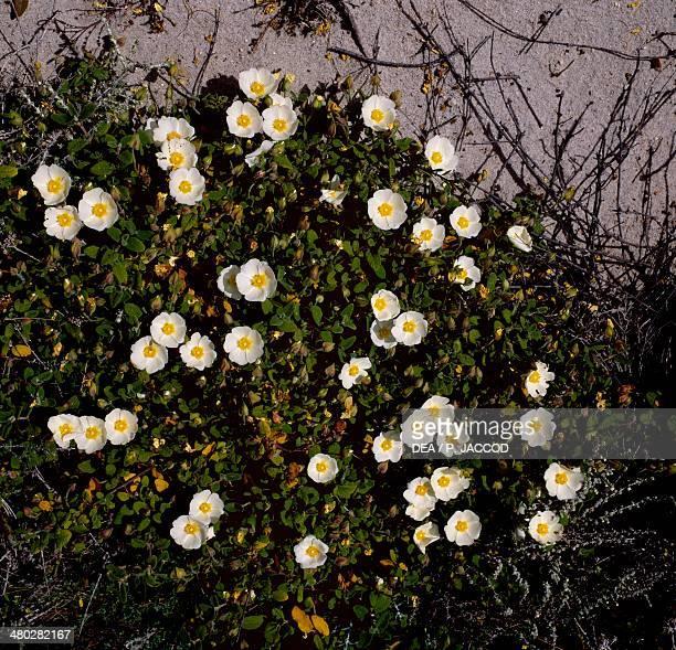 Pigface ice plant or Hottentot plant Aizoaceae Caprera island Sardina Italy
