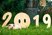 Front view of nice piggy lying on green grass, near decorative wooden numbers of 2019. Nose of pig instead of zero. Chinese traditional symbol of calendar, horoscope and new year.